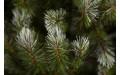 Фото:  Елка Женева 215 см c шишками заснеженная Triumph Tree-4