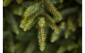 Фото:  Елка Королевская премиум 260 см зеленая Triumph Tree-2
