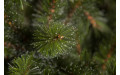 Фото:  Елка Лесная Красавица стройная 215 см зеленая Triumph Tree-1