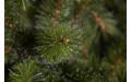 Фото:  Елка Лесная Красавица стройная 230 см зеленая Triumph Tree-1